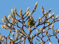 Japanese_whiteeye912